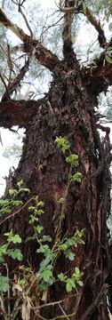 Grungy bark