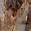 Thumbnail: Smaller-scale Scribbly Gum Bark Panorama - Limited Edition