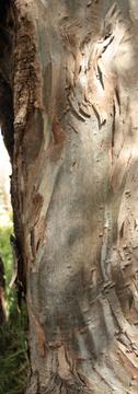 Swirly bark