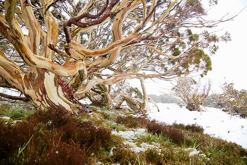 Snow Gum Photographic Print - Limited Edition