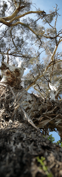 Upward grungy bark