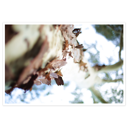 Limited Edition Photographic Print - Lemon-scented Gum