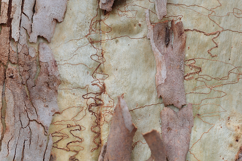 Large-scale Scribbly Gum Bark Panorama - Limited Edition