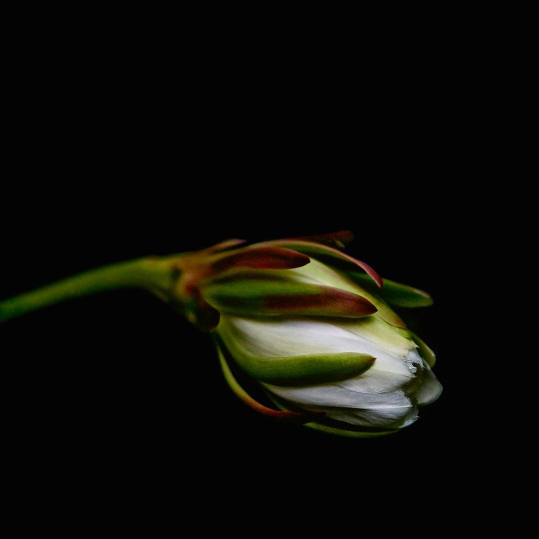 cactus flower832 4v2.jpg