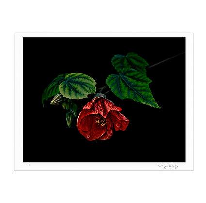 Hibiscus In Repose Print