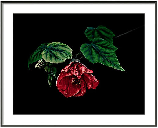 Hibiscus In Repose Framed