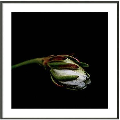 Cactus Flower Framed