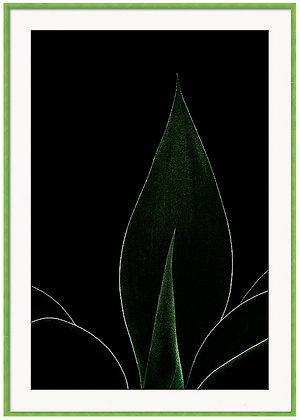 Agave Attenuata Custom Framed Print