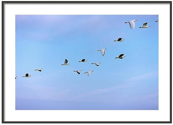Egrets Return to Parque Juarez Framed