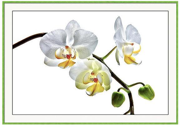Orchids On White Custom Framed Print