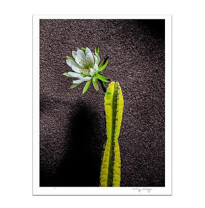 Cactus Flower in Bloom Print