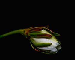 cactus flower832 4v2