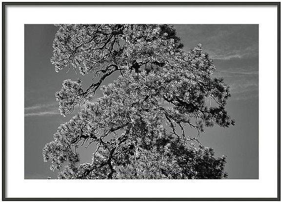 Lone Pine Framed