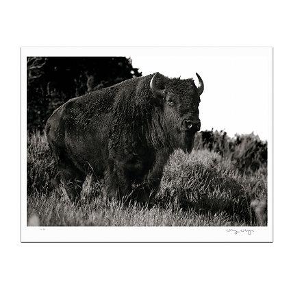 Proud Bison Print