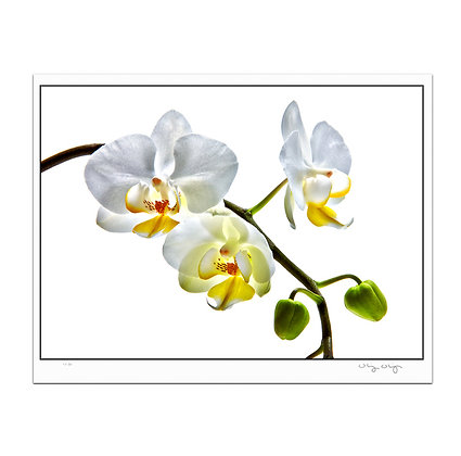 Orchids On White Print