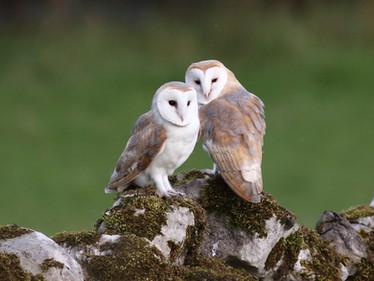 Barn Owls at Kettlewell
