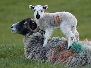 Lambs in Wharfedale