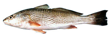 WHOLE RED DRUM