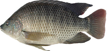 CLEANED TILAPIA