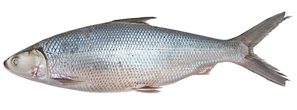 WHOLE MILK FISH