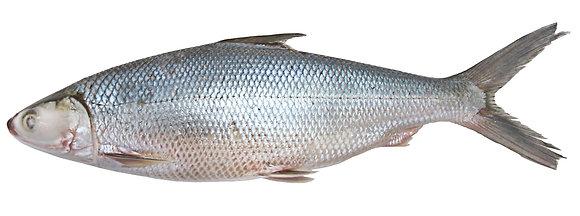 WHOLE MILK FISH