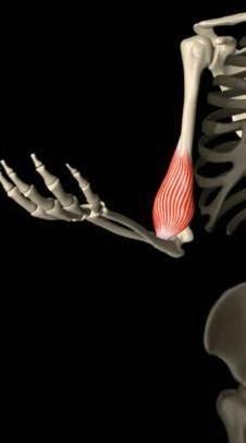 Perché ci muoviamo (un modello biomeccanico semplificato della contrazione muscolare) - Parte I