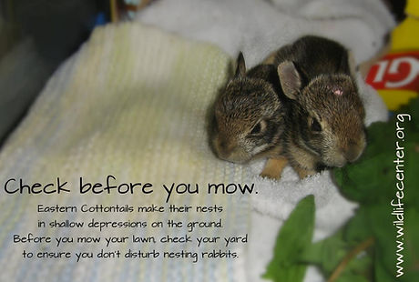 rabbits mow.jpg
