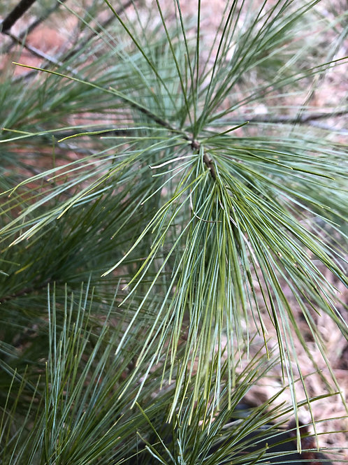 Pine Needles (White Pine)