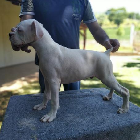 Filhotes de Boxer Brancos (Albinos) Disponíveis
