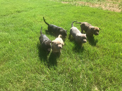 Staffordshire Bull Terriers