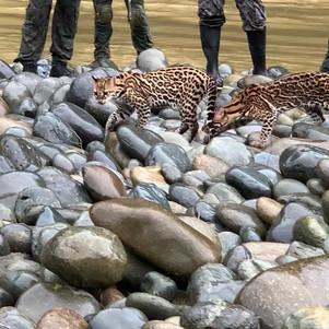 Seis tigrillos fueron liberados en parque nacional Cotacachi - Cayapas