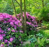 evergreen-rhododendron-low-maintenance-s