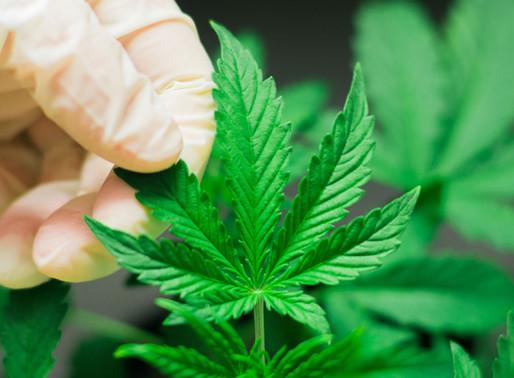 Uso recreativo del cannabis