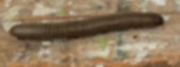 Narceus-gordanus.jpg