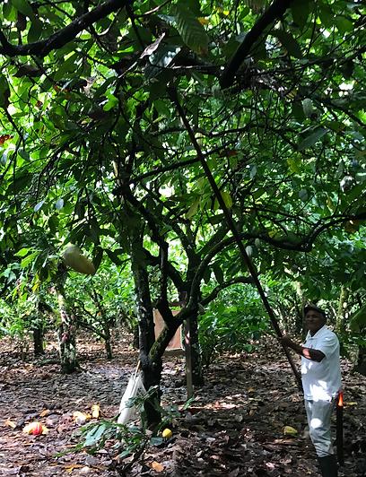 cacao dominican republic