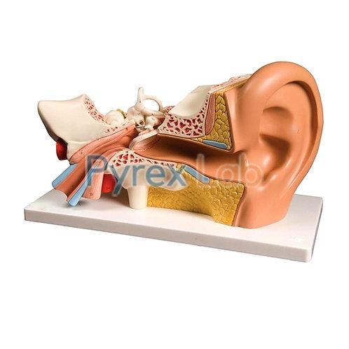 Ear Anatomical Model