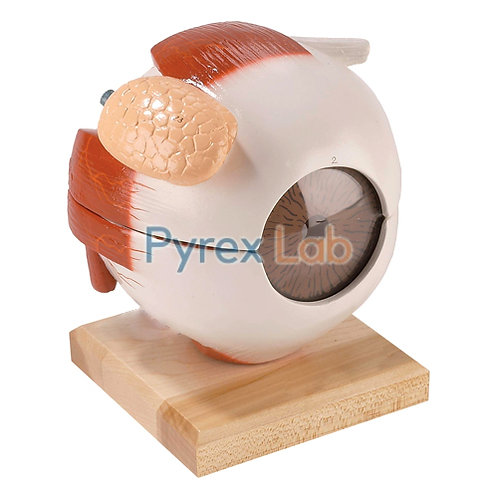 Function Eye Model