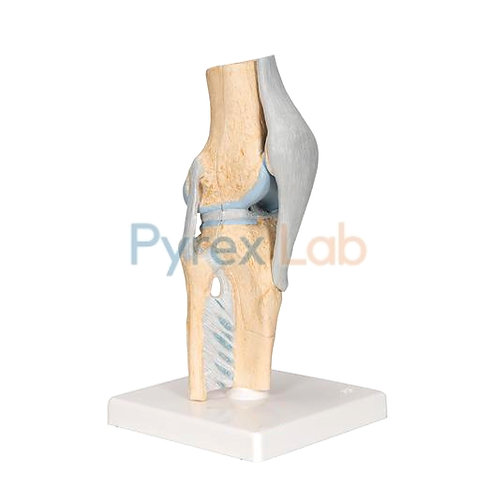 Sectional Knee Joint Model