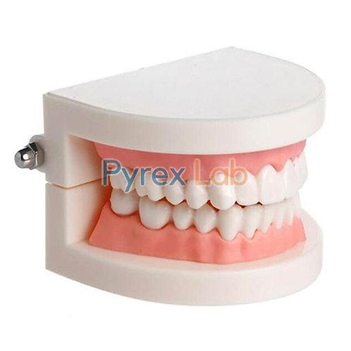 Dental Model Small