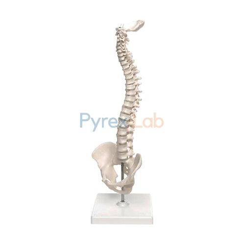 Human Mini Spine Model