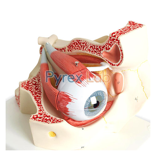 Eye With Orbit Model