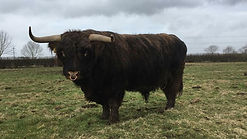highland beef.jpg