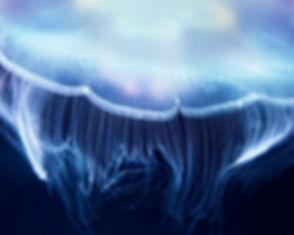 Aurelia Jellyfish