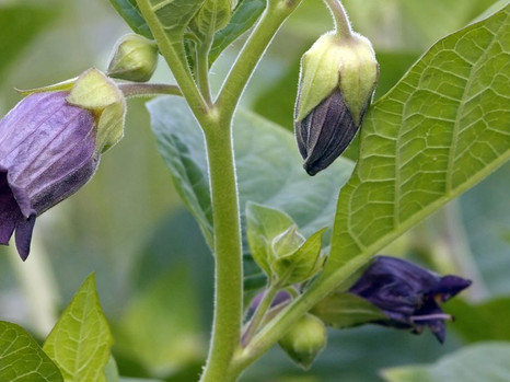 SCARLET FEVER AND THE DEADLY NIGHTSHADE CONNECTION