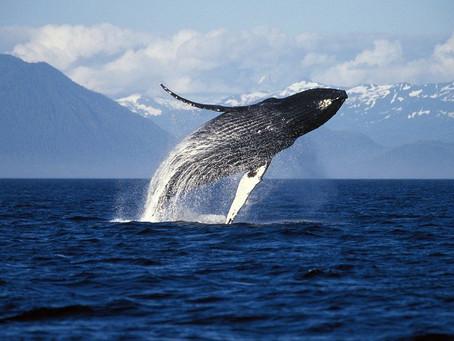 알래스카의 고래가 행복한 이유