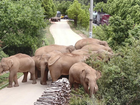 세계적인 스타가 된 중국의 떠돌이 코끼리들