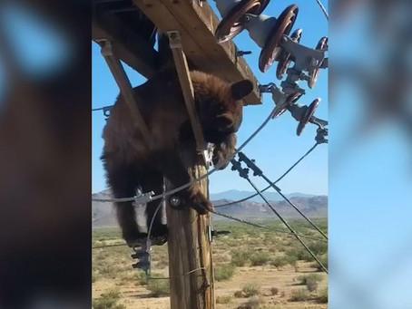 미국 애리조나 남부 도시에서 전봇대에 갇힌 곰 발견