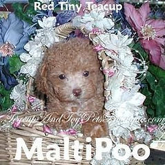 Red Tiny Teacup MaltiPoo Puppy Texas
