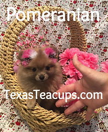 Tiny Teacup Pomeranian_edited.jpg