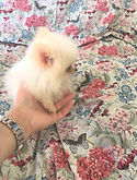 TINY TEACUP WHITE POMERANIAN.jpg